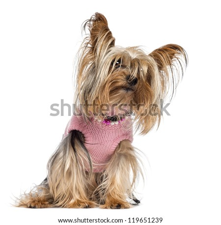 Yorkshire terrier sitting, dressed and looking away against white background