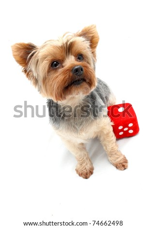 Yorkshire Terrier sitting with red dice - stock photo