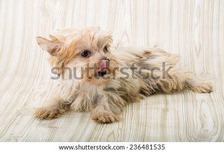 Yorkshire terrier - small dog puppy posing