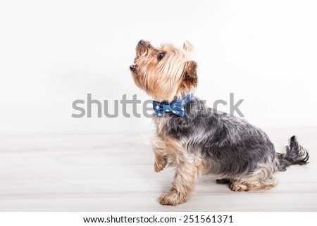 Yorkshire terrier, small dog puppy with bow tie posing - stock photo