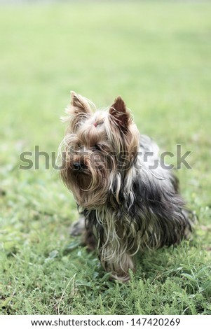 Yorkshire Terrier standing in green grass