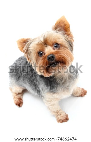 Yorkshire Terrier waiting eagerly with upright ears - stock photo