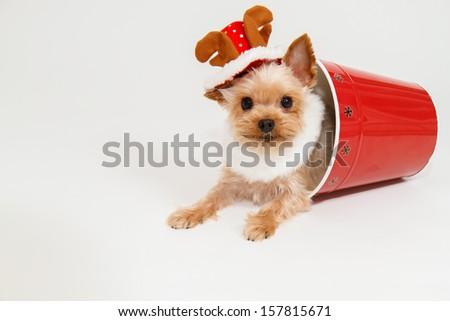 Yorkshire Terrier wearing a reindeer hat - stock photo