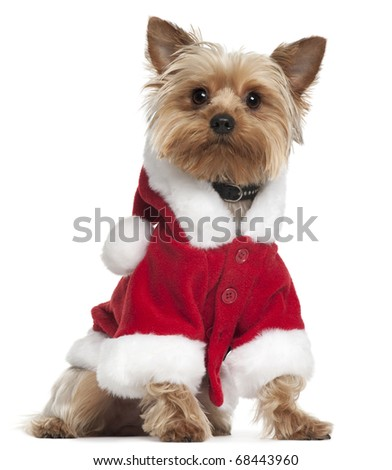 Yorkshire Terrier wearing Santa outfit, 12 months old, sitting in front of white background - stock photo