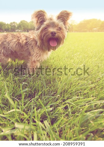 yorkshire terrier with a soft light instagram filter - stock photo
