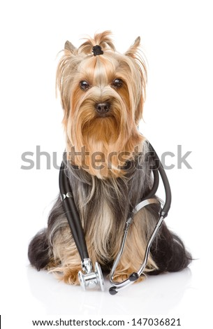 Yorkshire Terrier with a stethoscope on his neck. isolated on white background