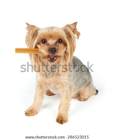 Yorkshire Terrier with dental stick in its mouth over white                                - stock photo