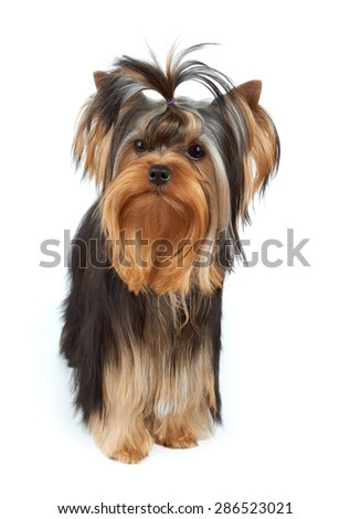 Yorkshire Terrier with elegant top knot stands on white background                                - stock photo