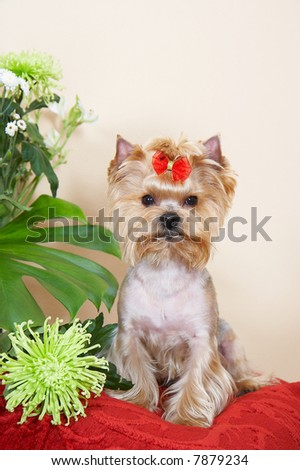 yorkshire terrier with green chrysanthemum