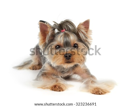 Yorkshire Terrier with large eyes looks into the camera                          - stock photo