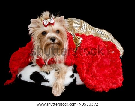 Yorkshire terrier with lred and golden dress isolated