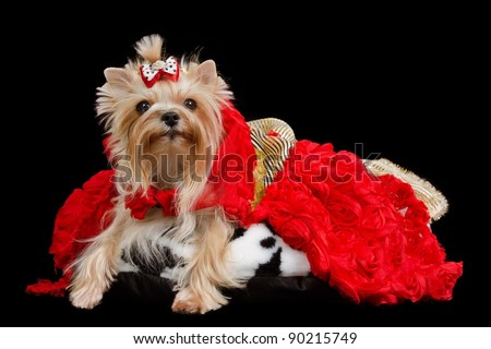 Yorkshire terrier with luxurious dress against black background