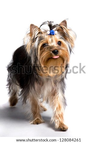 yorkshire terrier with one's tongue hanging out isolated on the white background