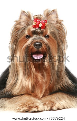 Yorkshire terrier with red bow lying on a white background
