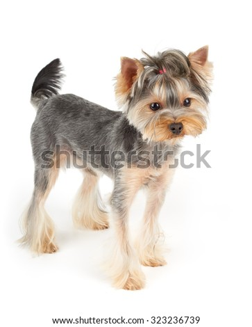 Yorkshire Terrier with short hair stands on white isolated background                               - stock photo