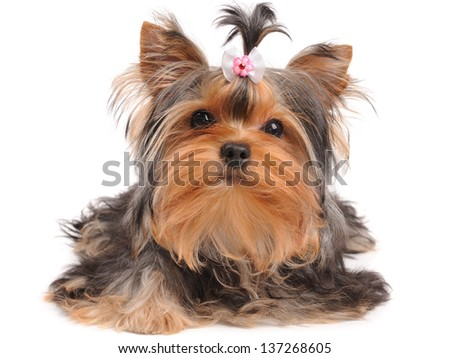 Yorkshire Terrier with small bow isolated on white