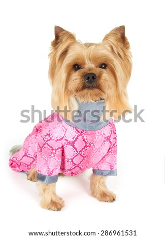 Yorkshire Terrier with stylish haircut wearing pink coveralls sits on white background                               - stock photo