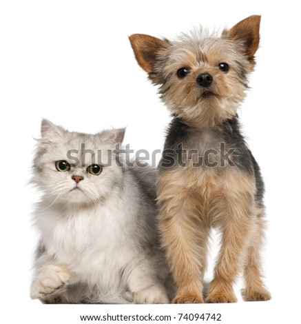 Yorkshire Terrier, 3 years old, and a Persian cat in front of white background - stock photo
