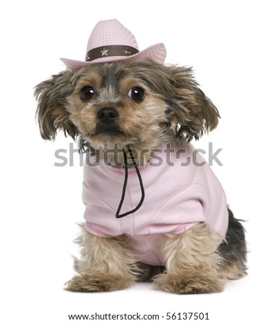 Yorkshire terrier, 2 years old, dressed and wearing a pink cowboy hat sitting in front of white background - stock photo