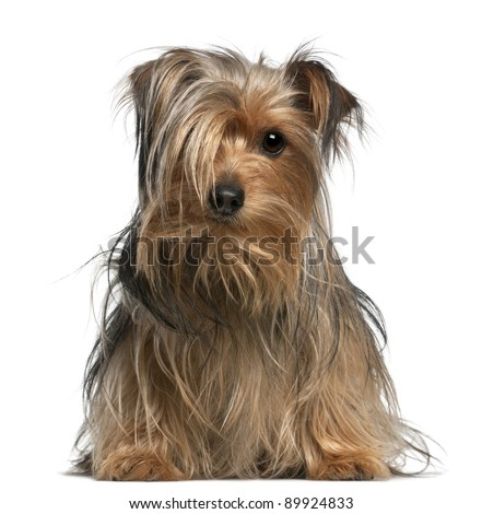 Yorkshire Terrier, 2 years old, sitting in front of white background - stock photo