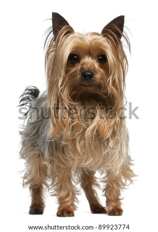 Yorkshire Terrier, 3 years old, standing in front of white background - stock photo