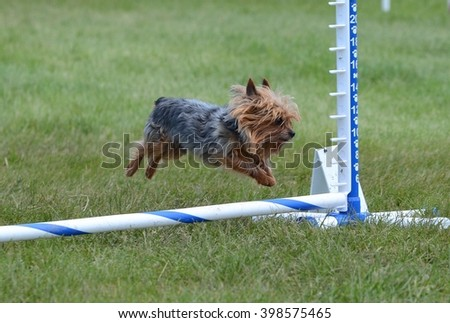Yorkshire Terrier (Yorkie) Leaping Over a Jump at a Dog Agility Trial
