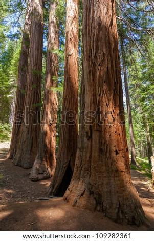 Yosemite National Park - Mariposa Grove Redwoods - California - stock photo
