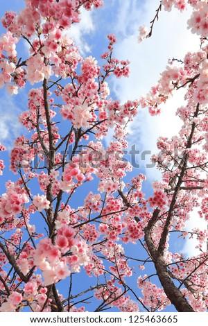 yoshino cherry Blossoms - stock photo