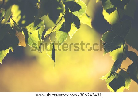 You can almost smell the summer. What a feeling. Image is about fresh birch leaves against the sunlight. Image also has vintage effect to create some artistic angle in it. - stock photo