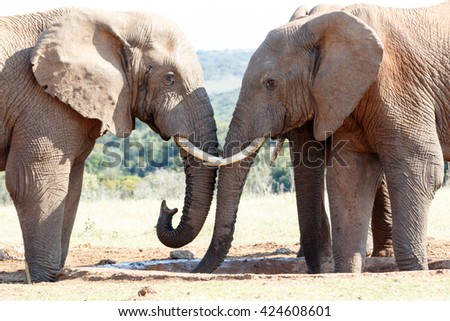 You can have water - The African bush elephant is the larger of the two species of African elephant. Both it and the African forest elephant have in the past been classified as a single species. - stock photo