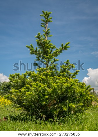 Young Abies koreana  growing in the backyard shot over blue sky - stock photo