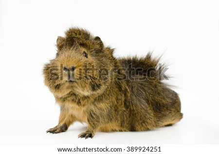 young abyssinian guinea pig (side, looks to camera) - stock photo