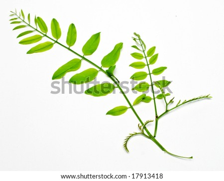 young  acacia branch with green leafs on white background - stock photo