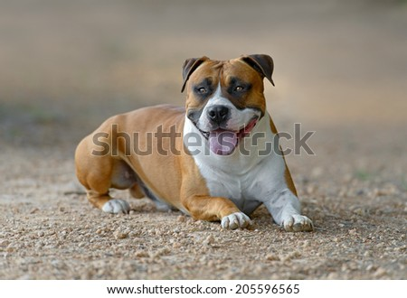 Young adult male American Staffordshire Terrier dog outdoors in a park - stock photo