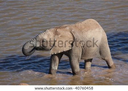 Young African elephant drinking water in a dam