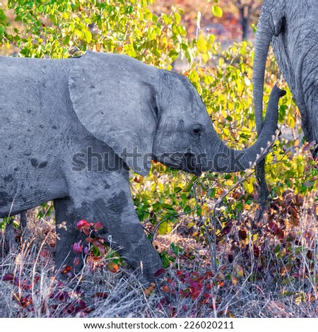 Young African Elephant (Loxodonta africana) running in Kruger Park, South Africa - stock photo