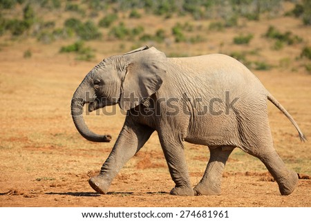 Young African elephant (Loxodonta africana) walking, Addo Elephant National park, South Africa - stock photo
