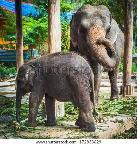 Young African Elephant with Mother - stock photo