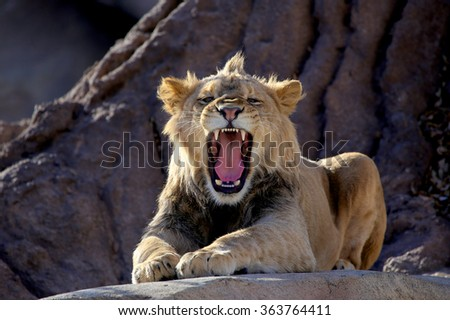 Young African Lion growling - stock photo