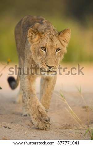 Young African Male Lion walking in the Kruger Park in South Africa