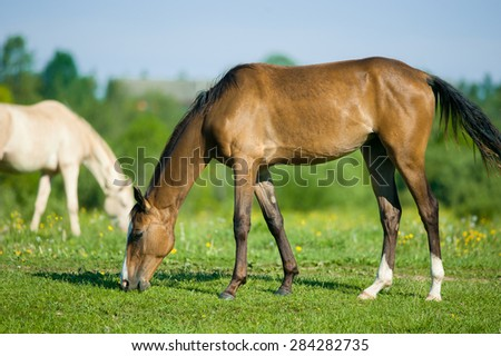 young akhal-teke filly grazing in the morning meadow - stock photo