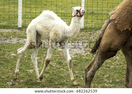 Young albino camel standing in a small farm field near Monroe, Indiana.