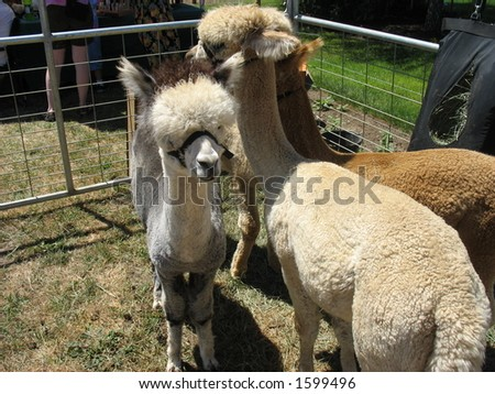 Young alpacas - stock photo