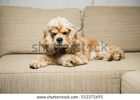 Young American cocker spaniel lying on a beige sofa. Interior living room.