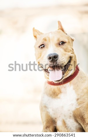 Young American Staffordshire Terrier in the Park - stock photo