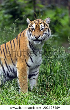 Young Amur tiger in its natural habitat