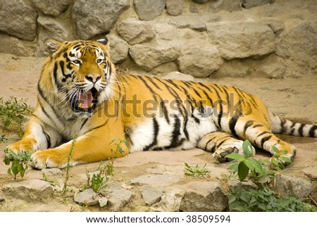 young Amur tiger yawns lying in the aviary - stock photo