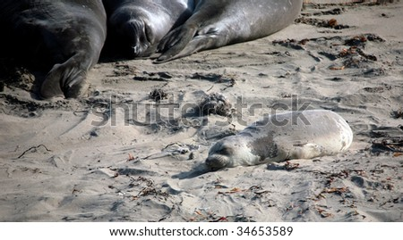 Young and Adult Seals Sunbathing Along the Beach - stock photo