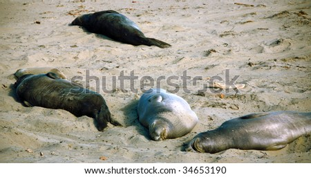Young and Adult Seals Sunbathing Along the Sand on a Beach - stock photo