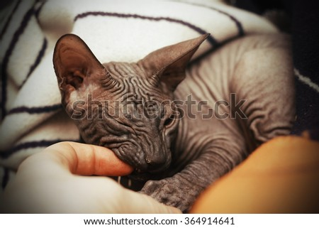 Young and beautiful black cat breed Don Sphynx lying on the lap of its owner and biting his finger, replacing teeth - stock photo